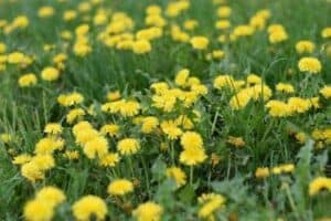 Dandelions in a grassy yard