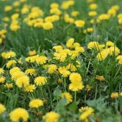 Dandelion Uses & Benefits