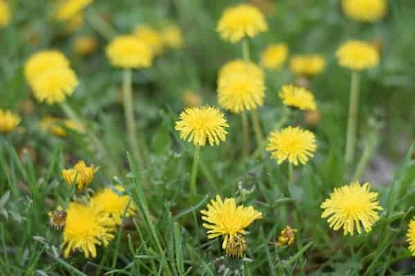Up close photo of dandelions