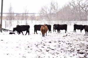 group of cattle in a snowy cow pen on the ranch