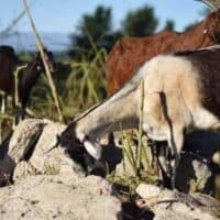 Using Goats for Grazing & Land Clean Up