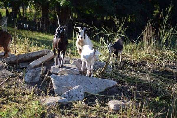 small goat herd cleaning up brush in a rocky area of land
