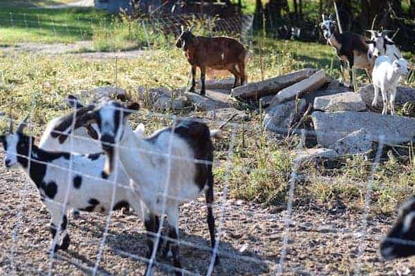 goats grazing area of land behind an electric fence