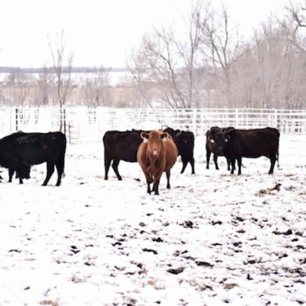 group of cattle in snowy pasture