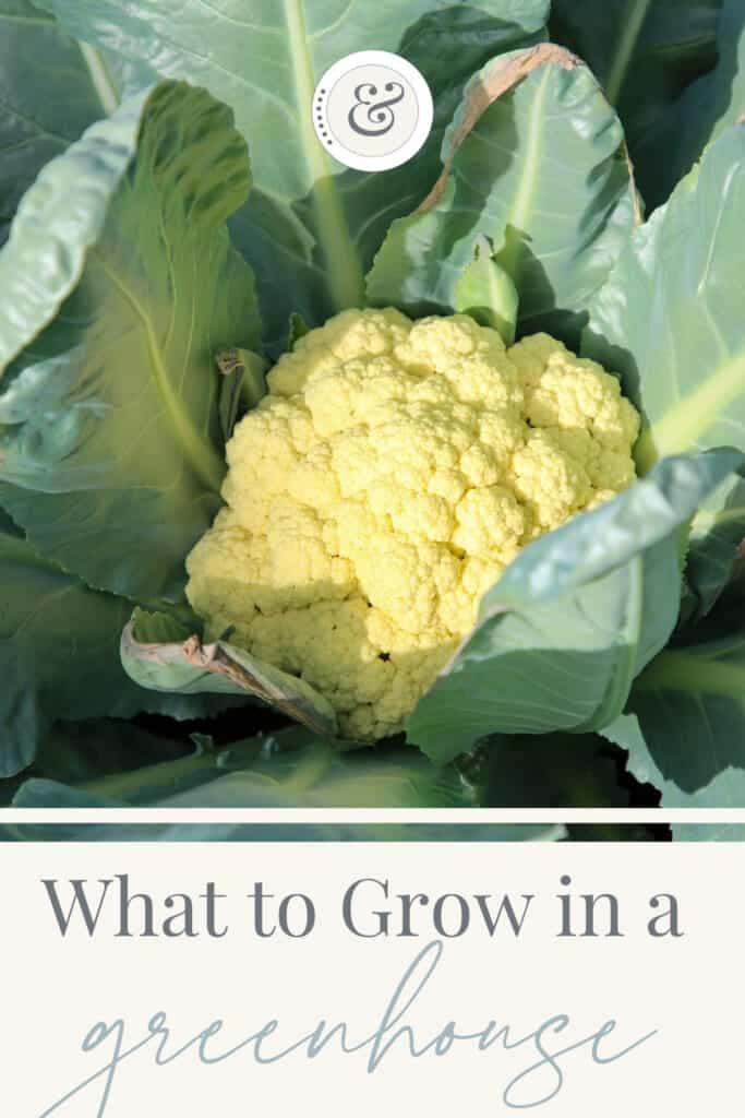 close up image of a cauliflower plant