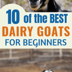 dairy goats: sable and alpine