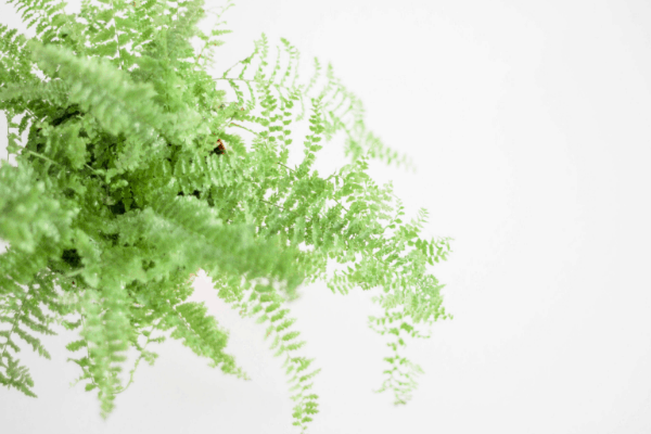 close up image of a Boston fern plant