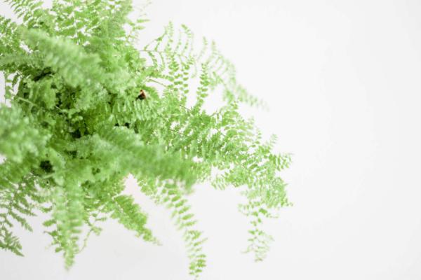 close up image of a Boston fern plant