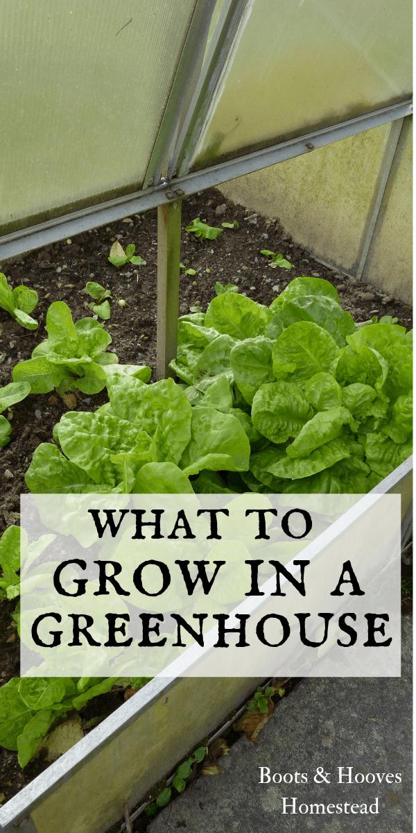 lettuce growing in a greenhouse