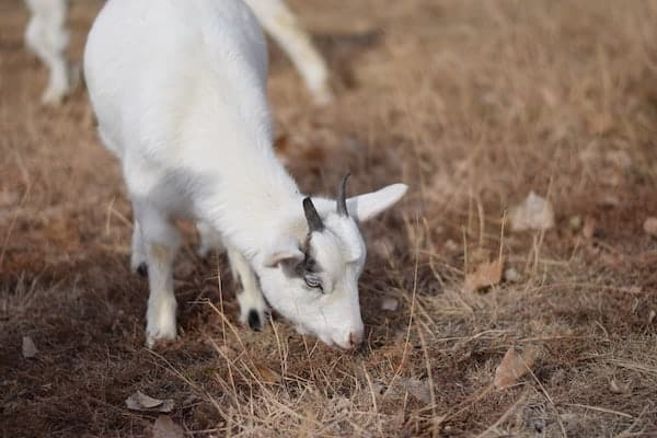 white pygmy goat browsing and eating grass