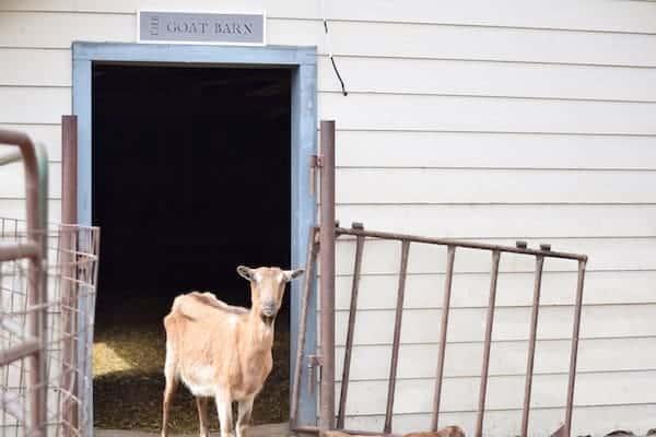 goat standing in the doorway of the goat barn