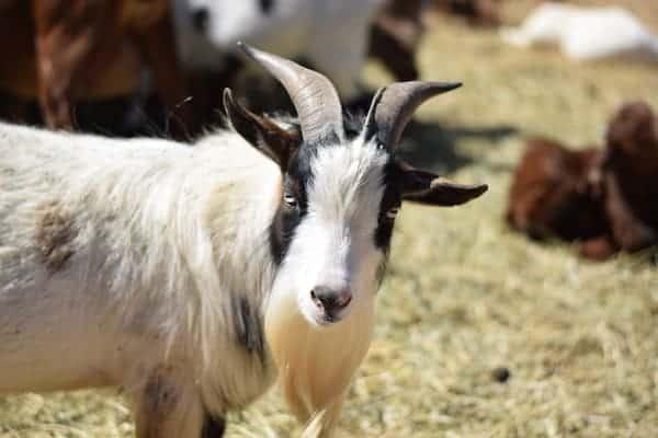 Close up image of a male pygmy goat