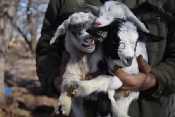 three small pygmy goats being held in man's hands