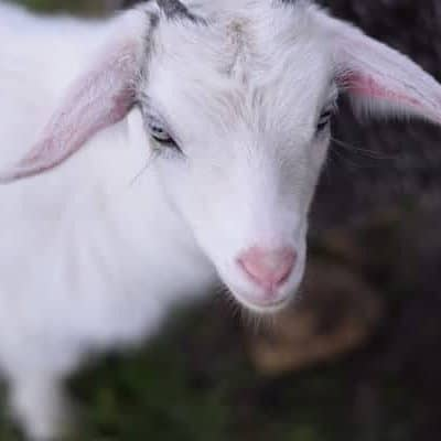 Close up image of a white pygmy goat