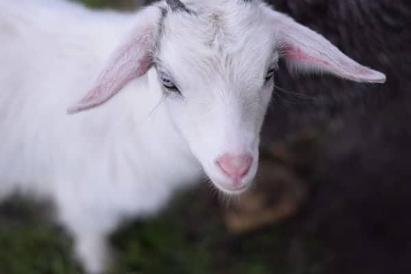 Raising a Pygmy Goat as a Pet