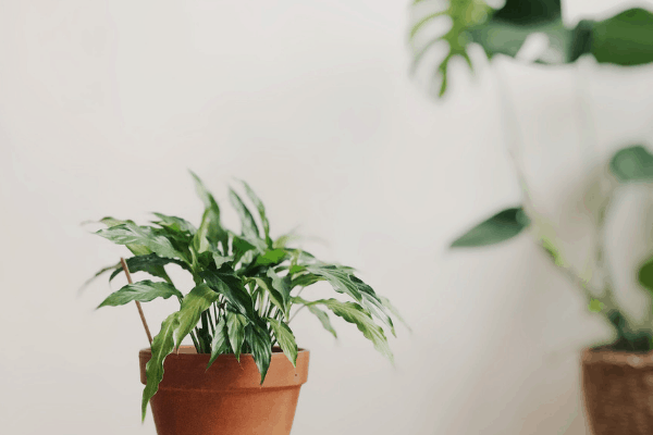 dracaena plant in terra cotta pot with a dracaena tree in background