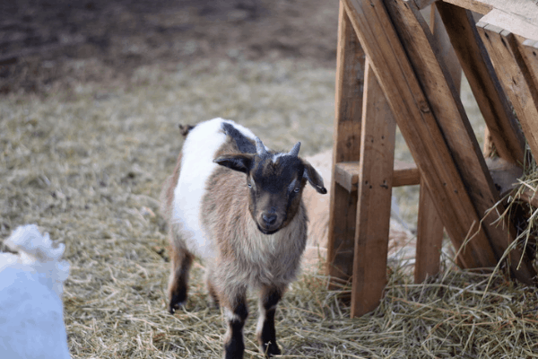 nigerian dwarf dairy goat breed