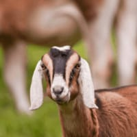 10 Best Dairy Goats for Beginners