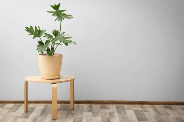 Philodendron plant in a light beige pot and sitting on a small wooden table