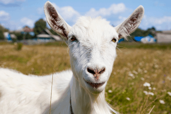 Russian White dairy goat breed