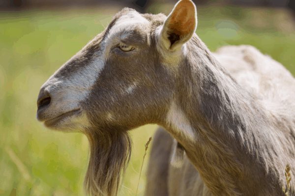 Toggenburg dairy goat breed
