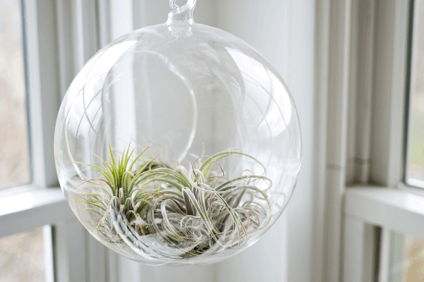 air plant hanging in a decorative glass bulb planter and hanging in front of a window