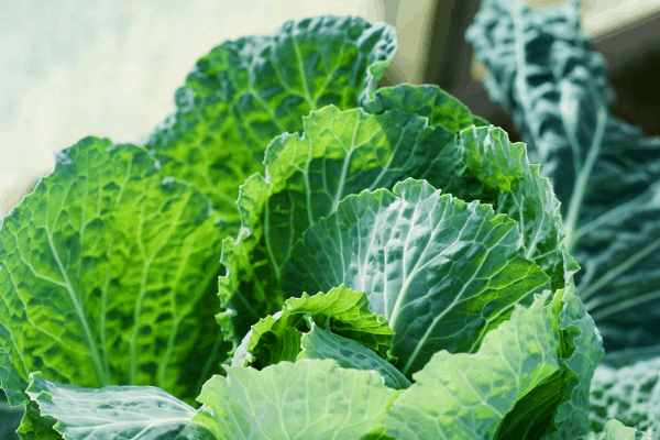 growing cabbage in a greenhouse