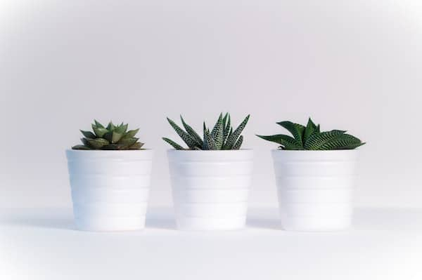 3 small succulents in white pots