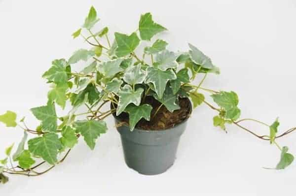 English Ivy plant in a grey pot