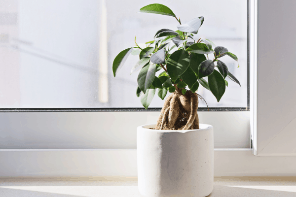 weeping fig plant in a white pot and placed in front of a window