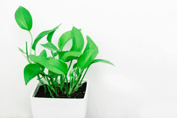 golden Pothos plant in white square pot