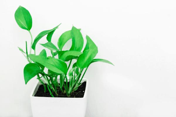 golden Pothos plant in white square pot