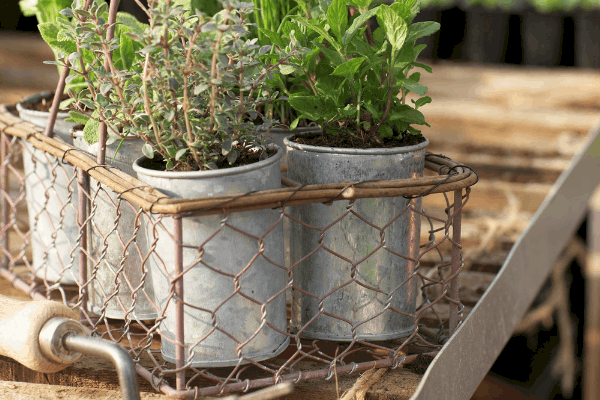 herb garden in galvanized pots that are growing in a greenhouse