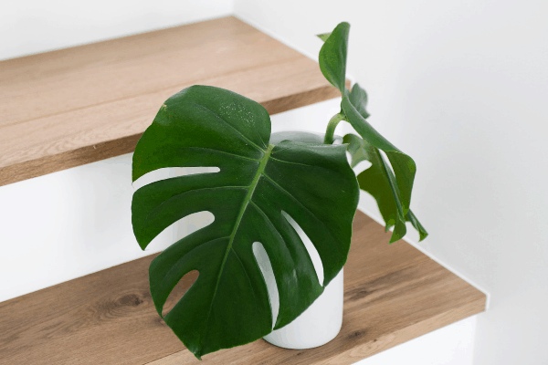 Small monstera plant in a white pot and resting on stairs