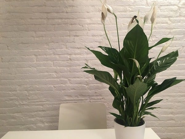 a large peace lily plant in a white pot and sitting on a table
