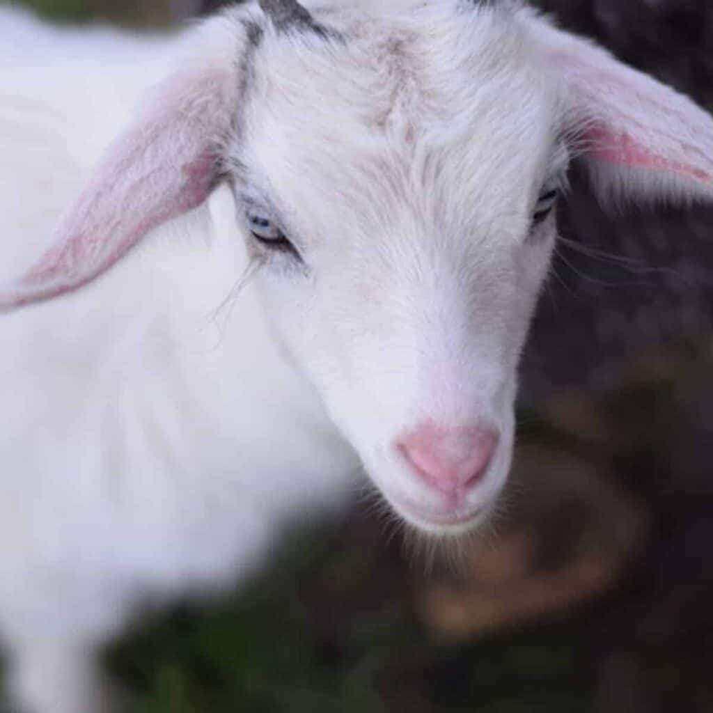 closeup image of white pygmy goat female