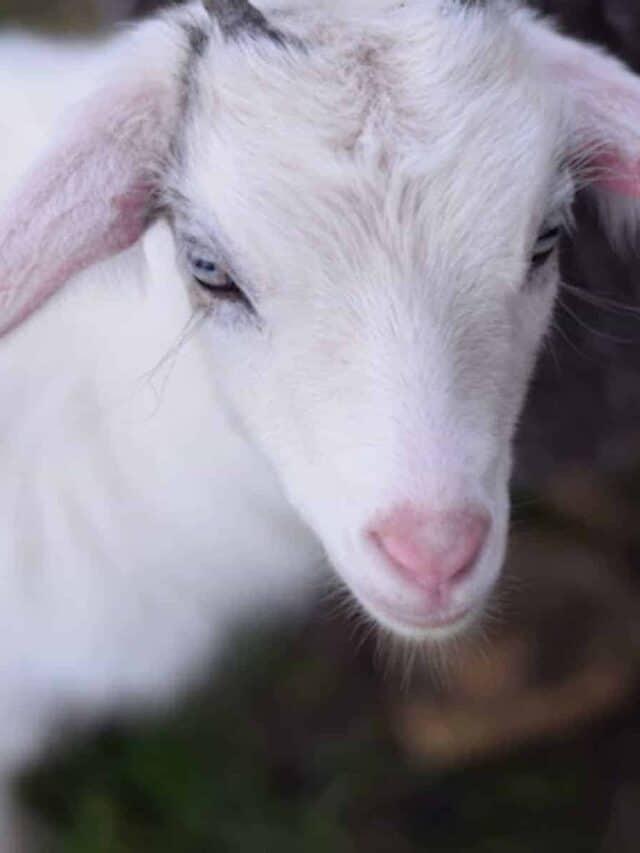 closeup image of white pygmy goat female