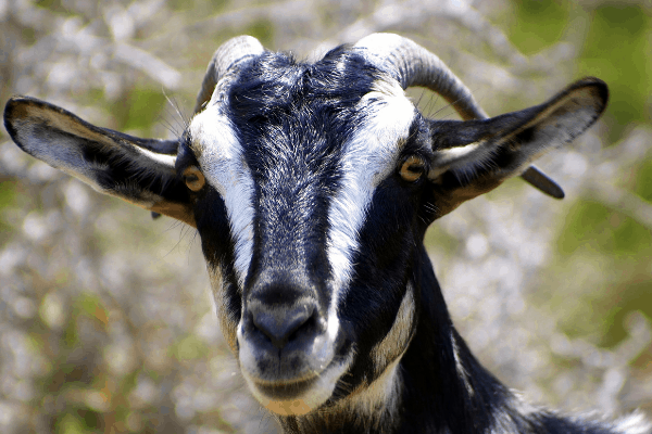 sable dairy goat breed