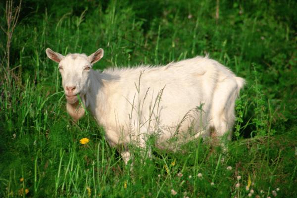 sanaan dairy goat in grass