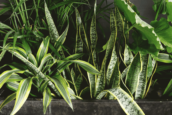 close up image of two snake plants