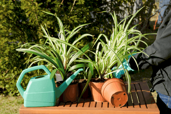 several spider plants in pots with a watering can in front