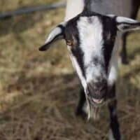 The Best Goats for Brush Clearing