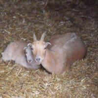 Raising Goats for Beginners