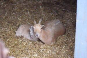 mama and baby goat snuggling in the barn