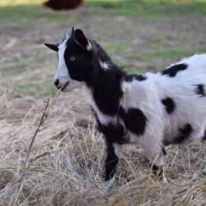 goat grazing hay in pasture