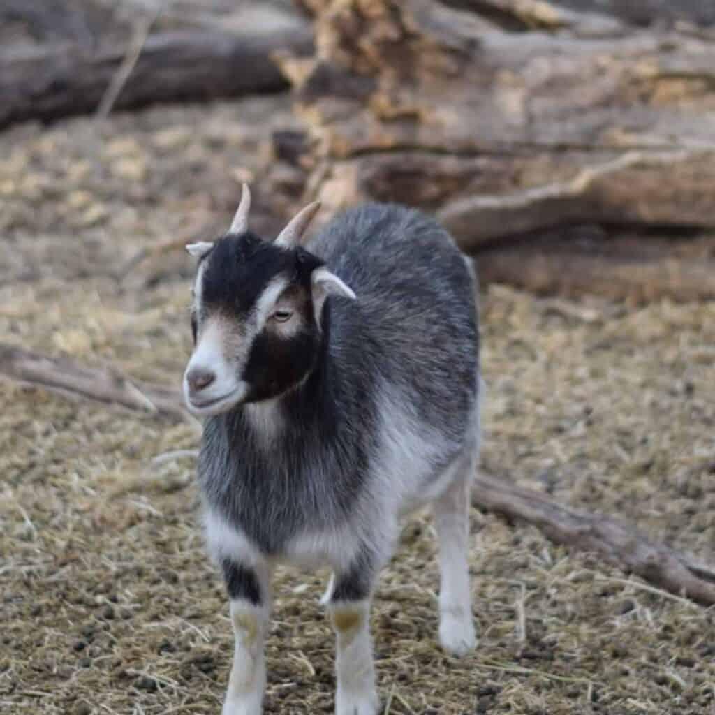 pygmy goat in goat pen