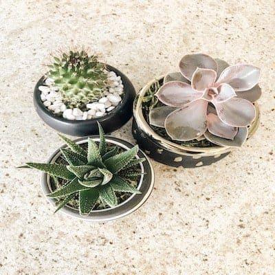 3 succulent plants