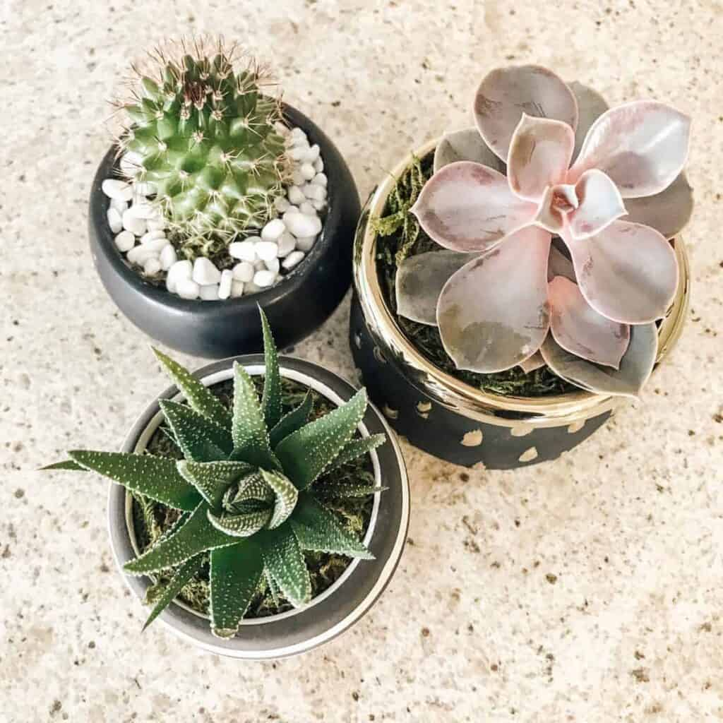three succulent plants