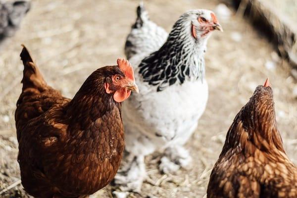 Rhode Island reds and brahma chickens