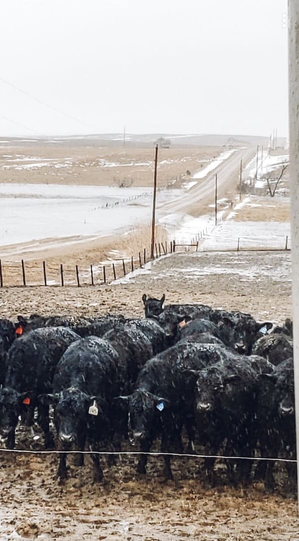 cattle and Nebraska flood
